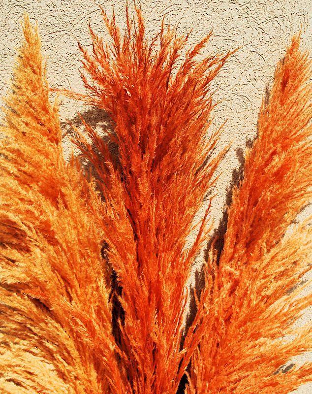 Orange Pampas Grass Seeds 200 seeds USA Seller