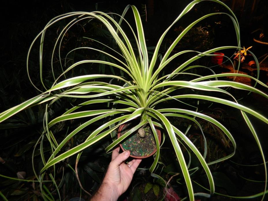 XXL Variegated PONYTAIL PALM   EXTREME COLOR ' Rare** XL'   PLANT COLLECTORS