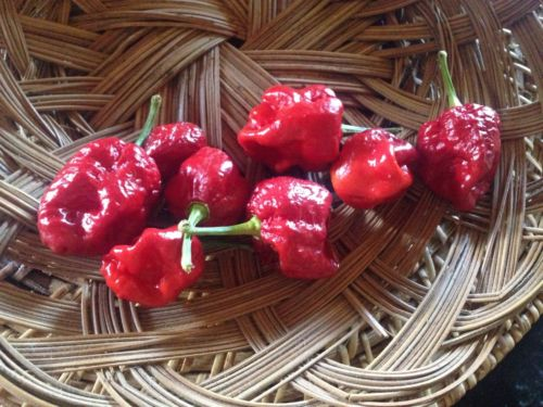 100 Trinidad Moruga Scorpion Pepper Seeds