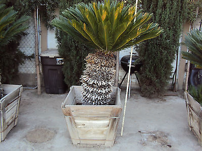 SAGO PALM  [ Local pick up only ]