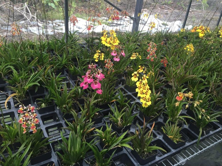 Tolumnia hybrid orchid plant sale! Also known as equiton orchids. Great mini