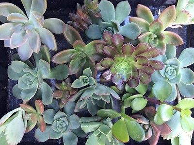 20 ASSORTED SUCCULENT CUTTINGS ASSORTED SIZES AND VARIETIES FREE SHIPPING