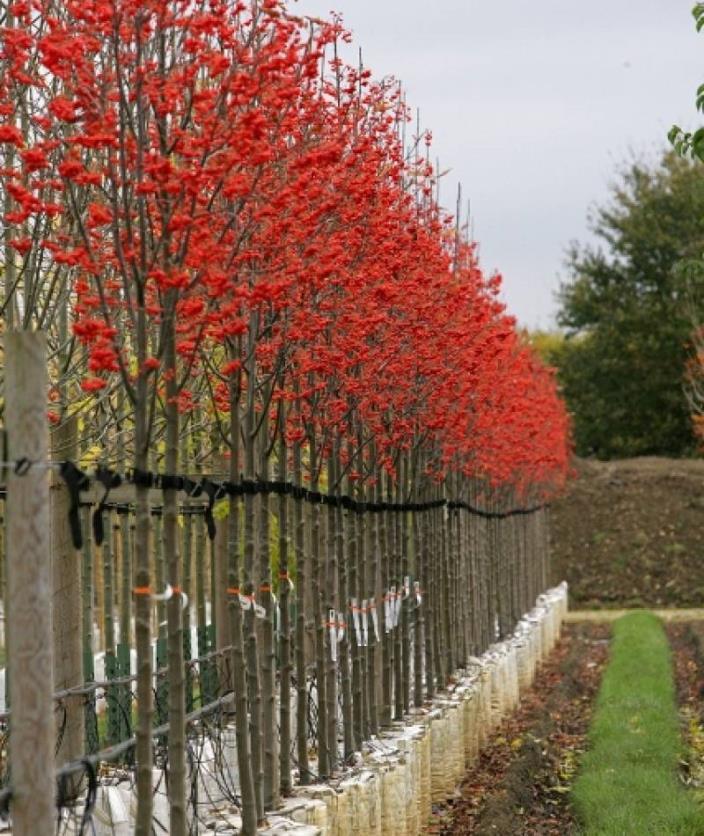 Swedish Mountain Ash Sorbus intermedia seeds
