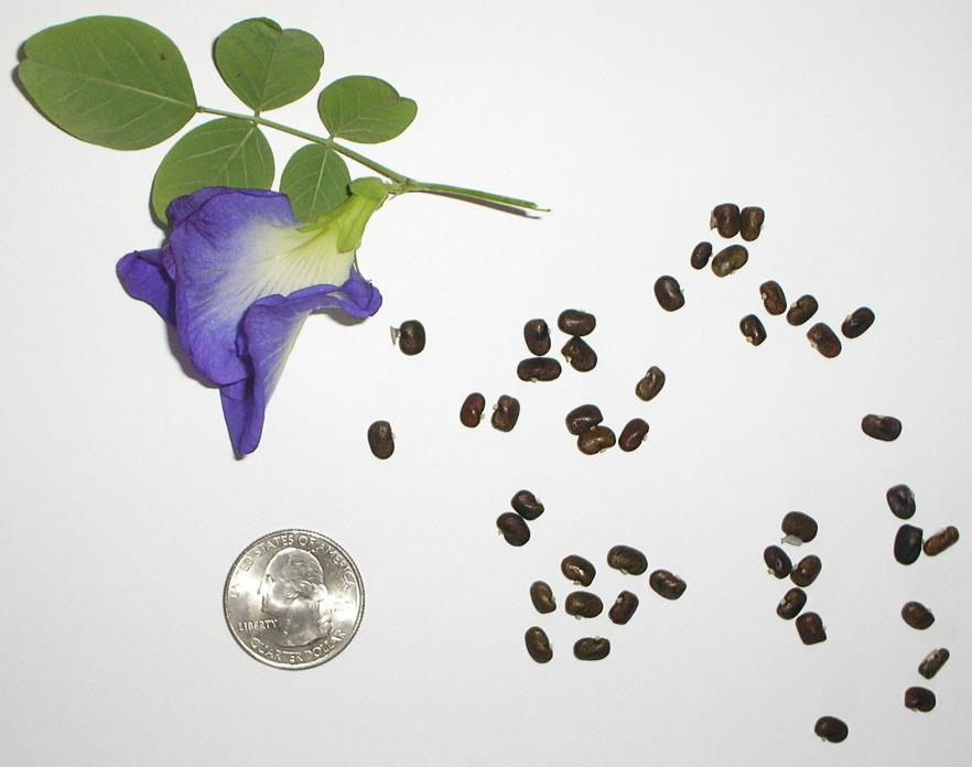 10 Seeds RARE Clitoria Ternatea, Butterfly Pea Vine, DOUBLE BLUE, Pigeon Wings