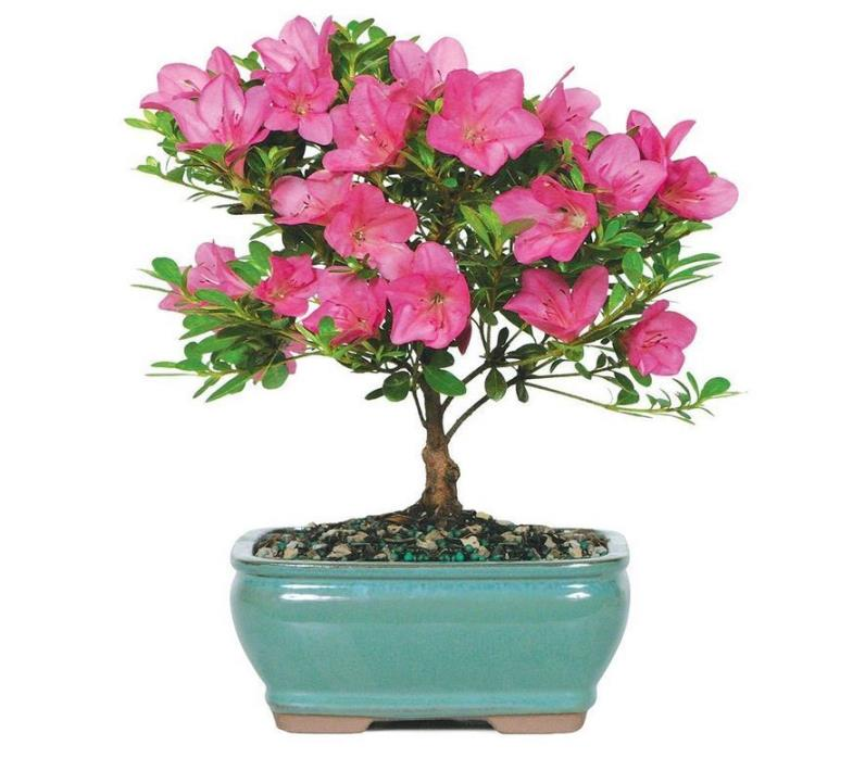 Valentine Bonsai Pink Satsuki Azalea Small Gift Plant Tree - (Outdoor)