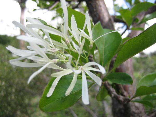 white fringe tree seeds