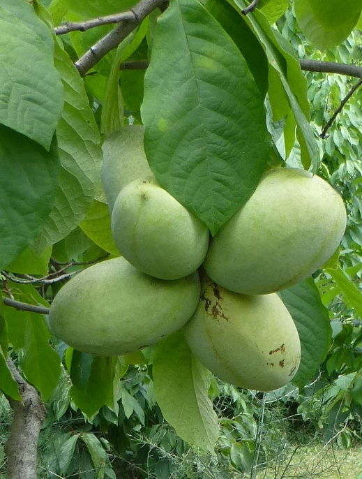48  PAWPAW SEEDS, PREMIUM SELECT 2017 SEEDS FROM KNOWN PREMIUM CULTIVARS