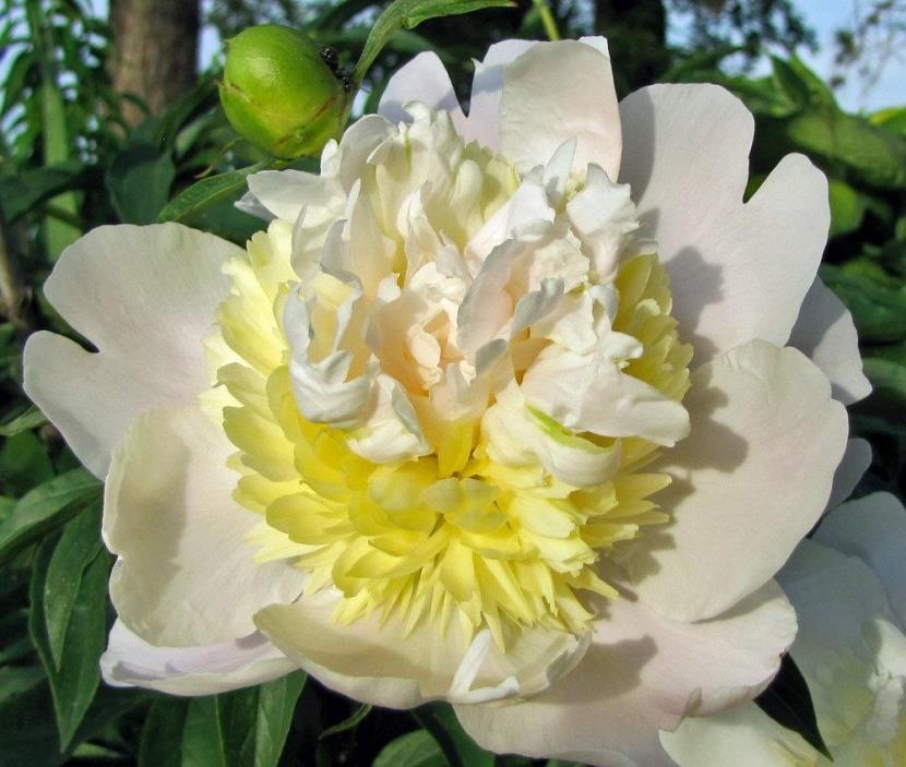 Peony/paeonia plant 'Primevere' 3/5 eye bare root Shipping Mar. 2018