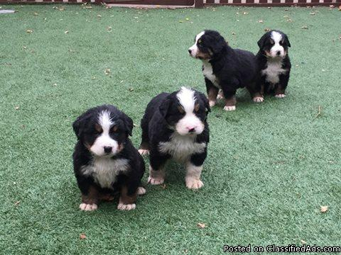 Beautiful Bernese Mountain Dog Puppies for sale