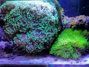 Hammer Coral 70+ heads (SCV)