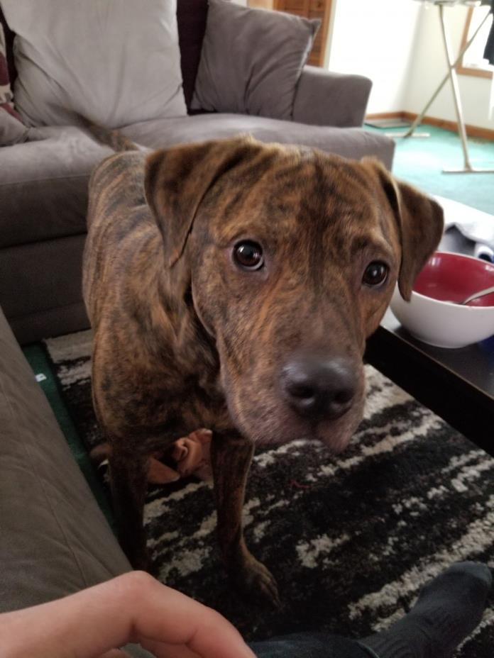 Adopt Tyson a Brindle American Pit Bull Terrier / American Pit Bull Terrier /