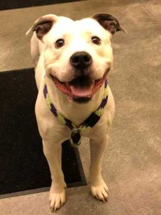 Adopt Tony Stark a White American Pit Bull Terrier / Mixed dog in Lancaster