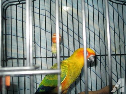 Sun Conure , Jenday Conure, Napoleon Parrot Cage,