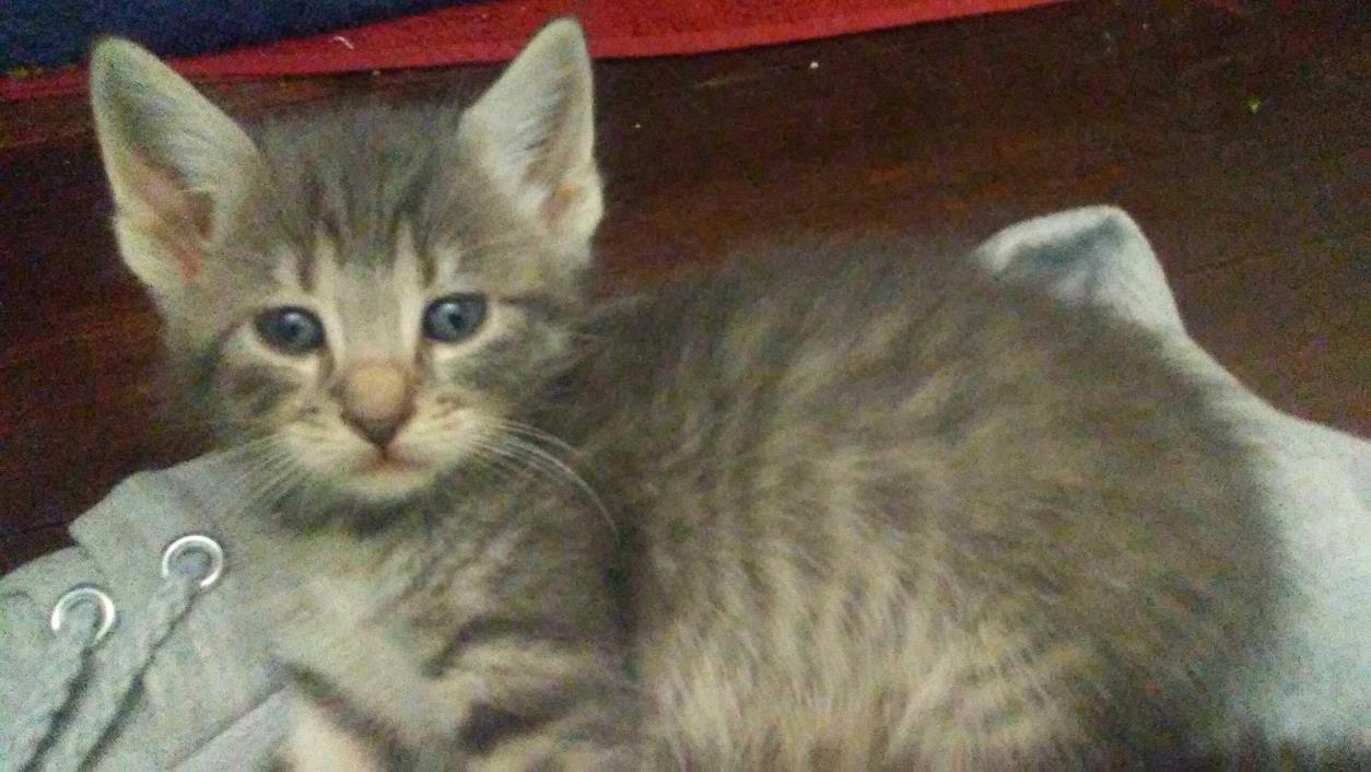 Adopt smokey a Gray, Blue or Silver Tabby Domestic Shorthair (short coat) cat in