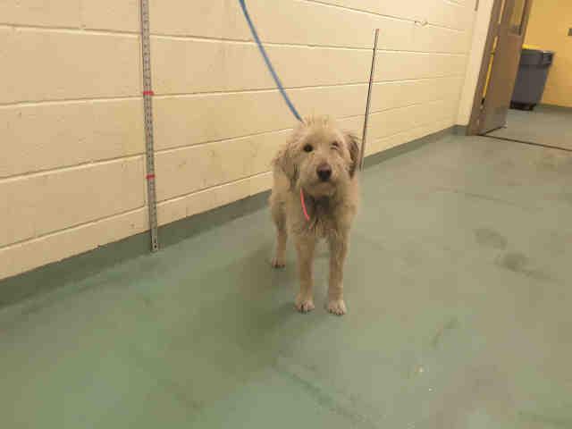 Adopt a Tan/Yellow/Fawn Mixed Breed (Medium) / Mixed dog in Memphis