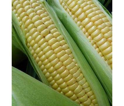 Sweet Corn Seed - Heirloom, Non-GMO - Organically grown locally