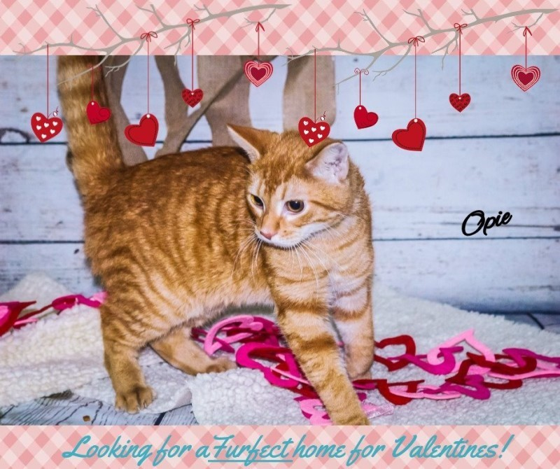 Adopt Opie a Orange or Red Domestic Shorthair cat in Newport, TN (20481346)