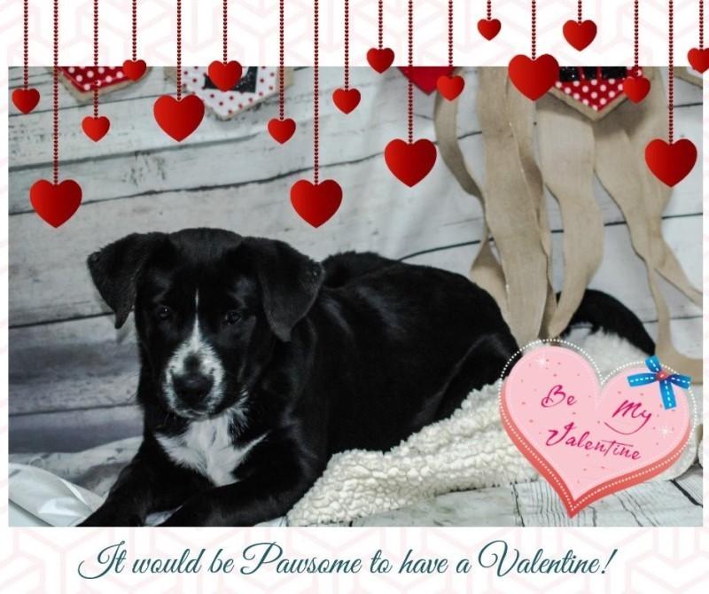 Adopt Jingle a Black Bernese Mountain Dog dog in Newport, TN (20481345)