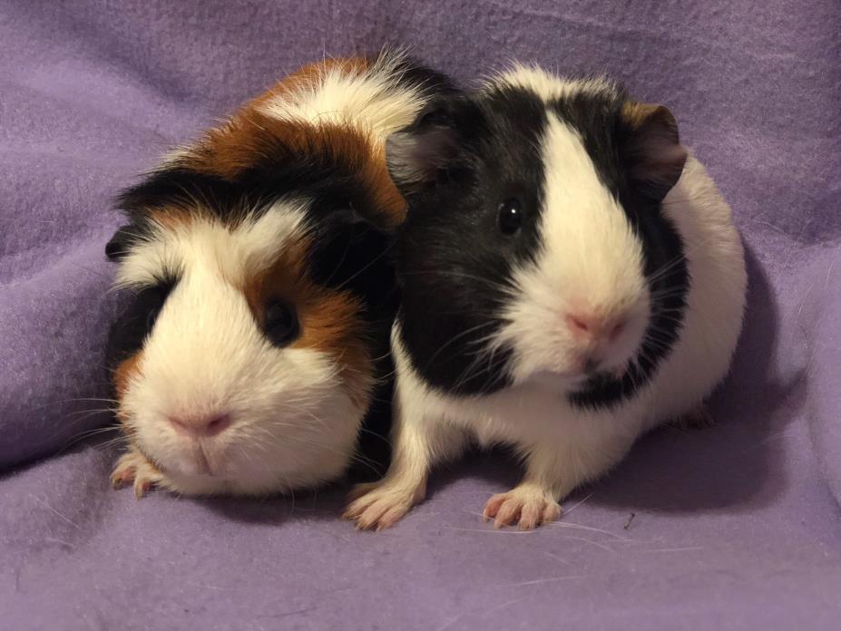 Adopt Claire & Poppy a Guinea Pig