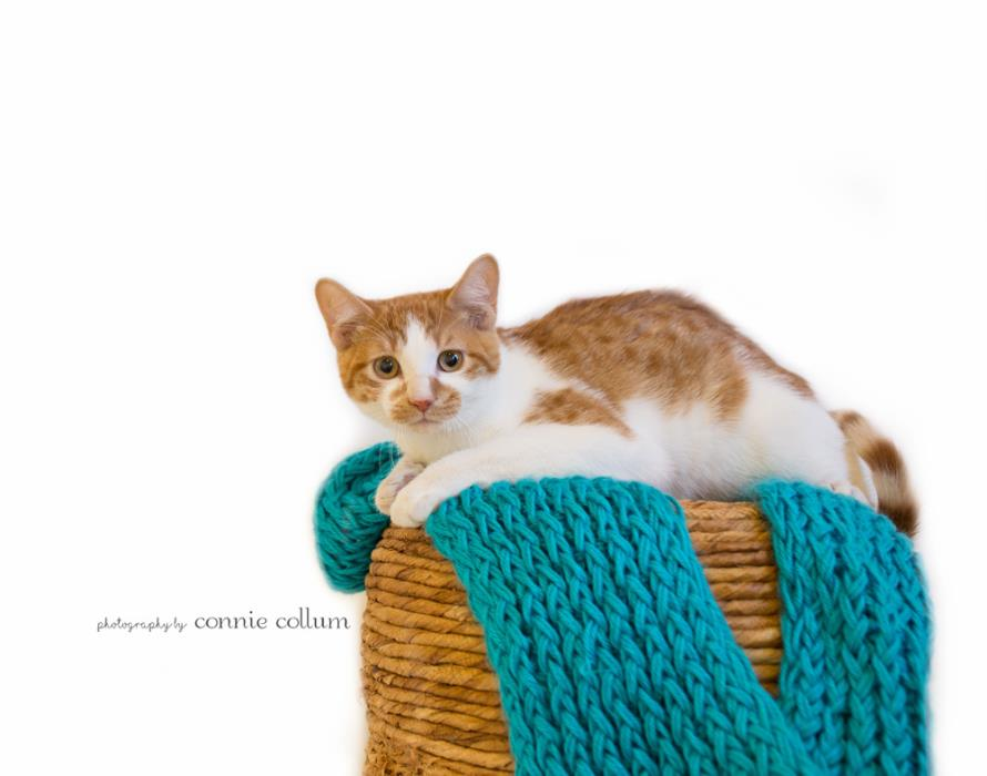 Adopt LITTLE CLEVELAND a Domestic Short Hair, Tabby