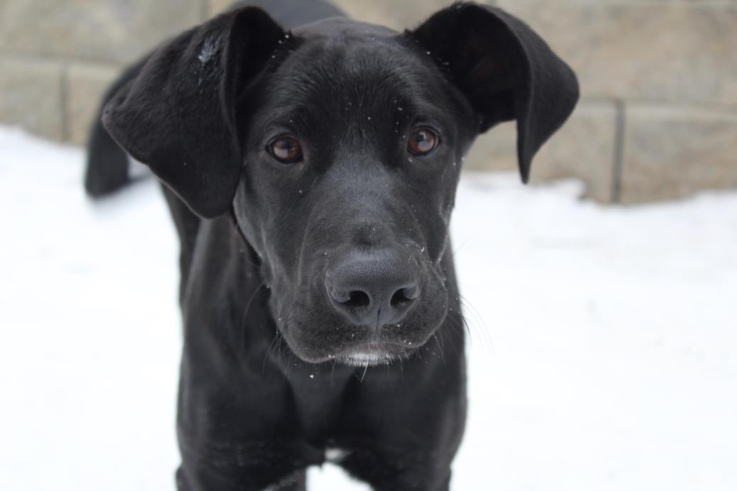 Adopt Dobby in NH a Labrador Retriever