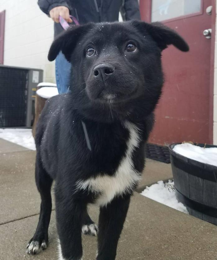 Adopt Arktos a Border Collie