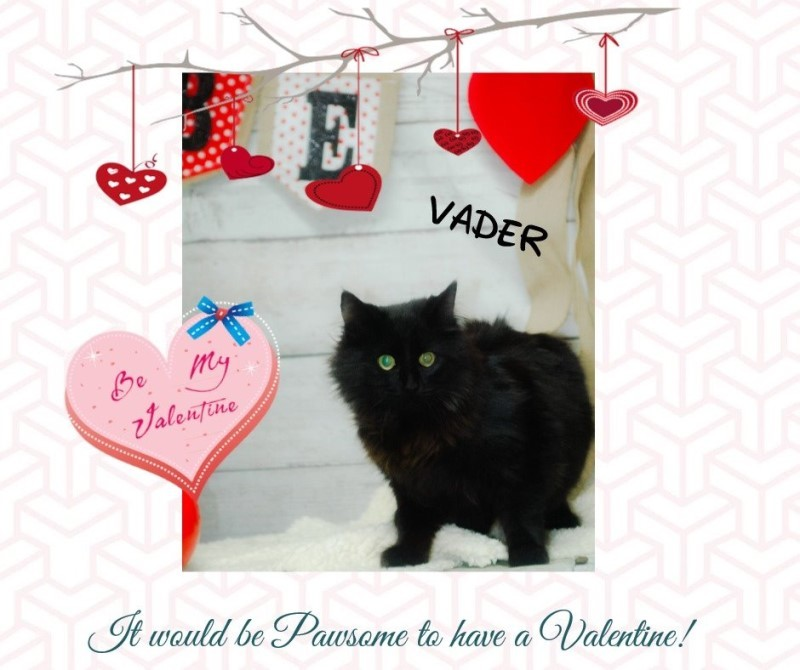 Adopt Vader a All Black Domestic Longhair cat in Newport, TN (20481347)
