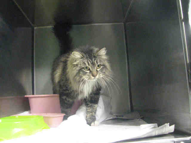 Adopt GRACE a Domestic Long Hair