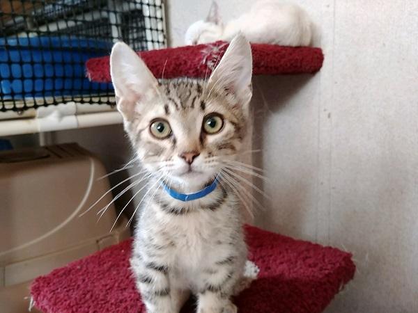 Adopt Kitten 16229 a Tabby