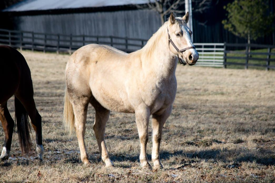 Adopt Tupelo Honey a Quarterhorse