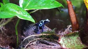 Poison dart frog green sipalawini vivarium (milwaukee)