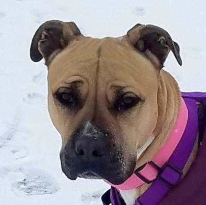 Adopt Olive a Tan/Yellow/Fawn American Pit Bull Terrier / Mixed dog in Sheridan