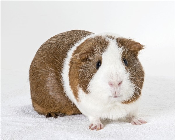 Adopt Austin a Guinea Pig small animal in Monterey, CA (20476018)
