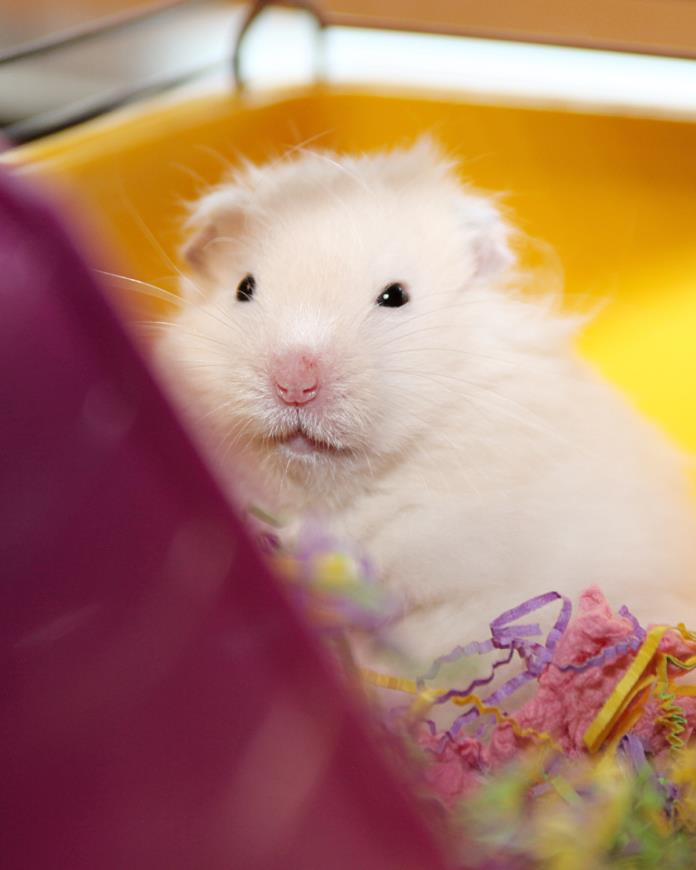 Adopt Waffle a Hamster