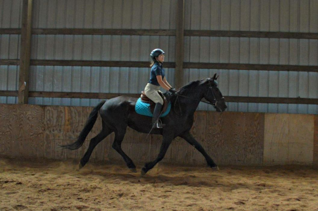 Friesian Sporthorse Gelding