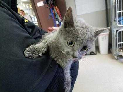 Adopt 37566269 a Gray or Blue Domestic Shorthair / Domestic Shorthair / Mixed