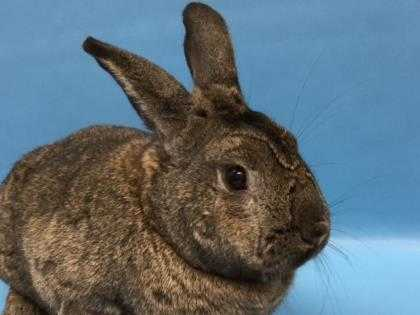 Adopt Hank a Chocolate Other/Unknown / Mixed rabbit in Woodbury, MN (20482821)