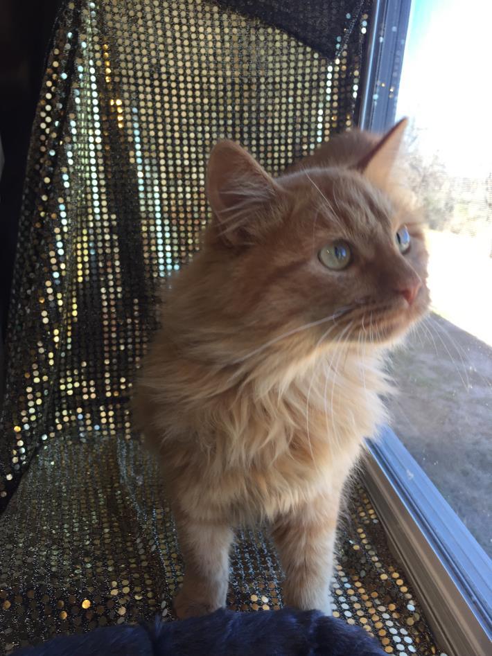 Adopt kitty4 a Domestic Long Hair