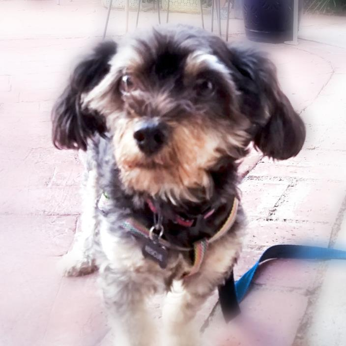 Adopt Steve a Black - with Gray or Silver Schnauzer (Miniature) / Terrier