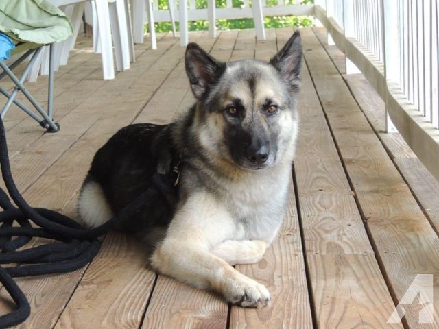GSD Elkhound Mix looking for active home with no other pets