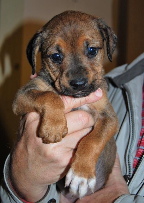 Adopt Charlotte a Brown/Chocolate - with Black Labrador Retriever / Mixed dog in