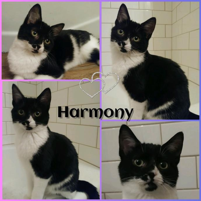 Adopt Harmony a Domestic Short Hair