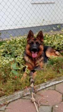 German Shepherd Dog PUPPY FOR SALE ADN-60248 - Valentine Puppies West German