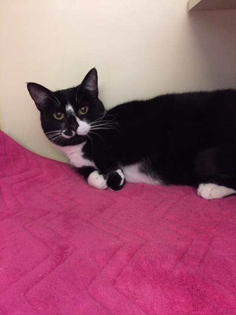 Adopt Victoria: Available at our Center on Fridays a Domestic Short Hair