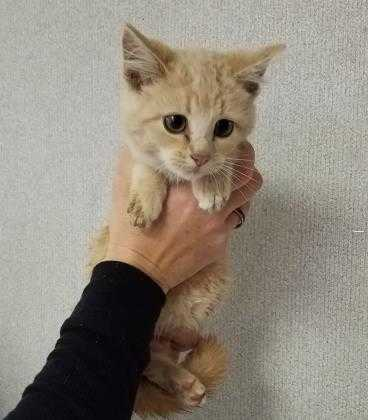 Adopt 37566258 a Tan or Fawn Domestic Shorthair / Domestic Shorthair / Mixed cat