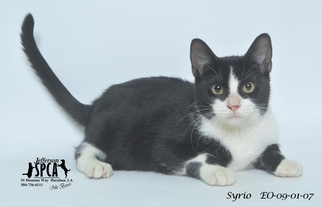 Adopt Syrio a Tuxedo