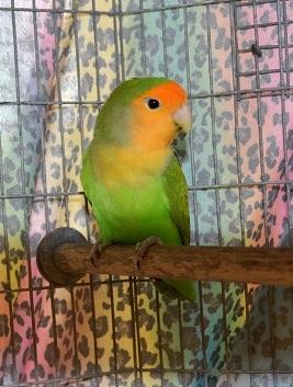 Adopt Tweet a Lovebird