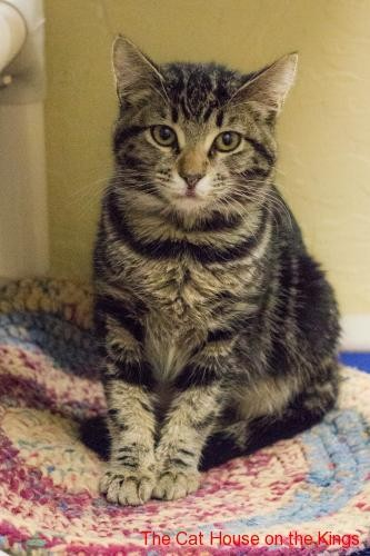 Adopt Betsy a Brown or Chocolate Domestic Shorthair cat in Fresno, CA (20486290)