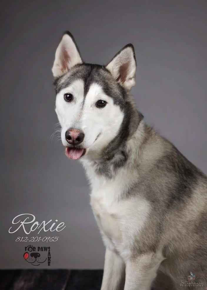 Adopt Roxie a Siberian Husky