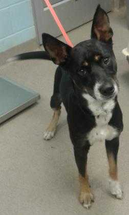 Adopt Maxx (Reclaim) a Black Mixed Breed (Large) / Mixed dog in Chamblee